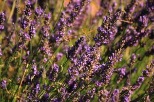 Lavender Flowers by panna-cotta