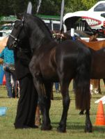 friesian stallion standing rear view 2 by tbg-stock-images