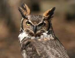 Great Horned Owl 20D0034753 by Cristian-M