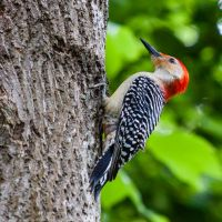 Red Bellied Woodpecker by rctfan2