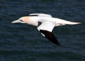 Gannet in flight, Bempton, nr. Brid, E Yorks by jeanmark