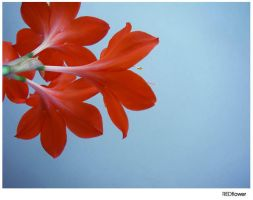 REDflower by myparty