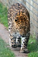 Leopard (YWP) by SD-13