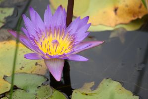 Purple water lily 2421 by fa-stock