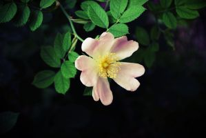 Wild Rose by feed-me-cookiez