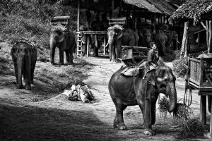 Chiang Mai Elephant Camp by josgoh