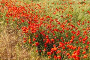 Diagonal of poppies by Jorapache