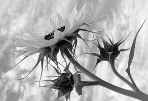 colorless sunflowers by ahhsummer