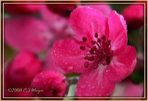 Apple Blossom For Shell by e-CJ
