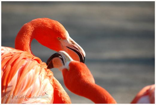 Cuba Flamingo by grugster
