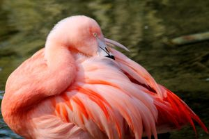Fluffy Young Flamingo by s-kmp