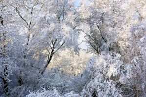 Snow Laden Boughs by ali-cato