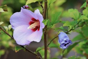 Rose of Sharon by Monkeystyle3000