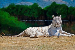 White tiger by agelisgeo