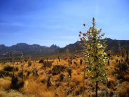 Valley of the Yucca by SharPhotography