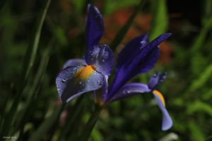 Iris by George---Kirk