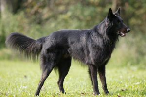 concentrated Belgian Shepherd by Kjutichen