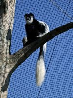 Colobus Monkey IV by Baq-Stock