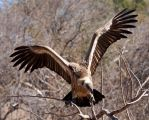 White Backed Vulture V by twilightkeeper