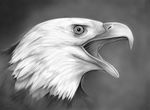 Bald Eagle - pencil on 9x12 smooth bristol paper by gregchapin
