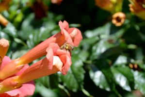 Bee, Digging Into the Trumpet Flower by Miss-Tbones