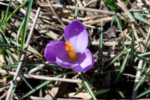Purple Crocus Blom by Trainman51