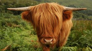 Highland cow by mielure