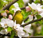Warbler and Apple Blossoms by ParadigmParadox