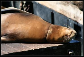 Sea Lion I by DarkestFear