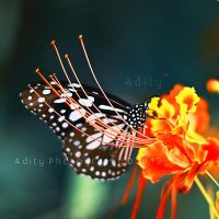 ..Butterfly. by addy-ack