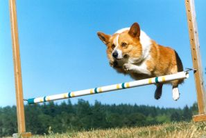 Corgi Dog Being Epic. by ReachingUpTonight