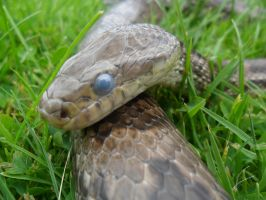 Going though shed - Corn snake by StormReptiles