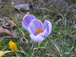 Purple Crocus by Formel