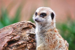 One Meerkat by DanielleMiner
