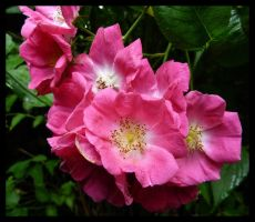 dog rose by kram666