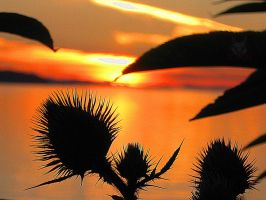 Thistles And Sunsets. by wolfwings1