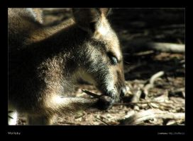 Wallaby by rotane