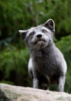 Arctic Fox6 by PictureByPali