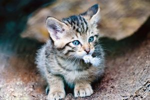 European Wildcat Baby 2 by TadStone