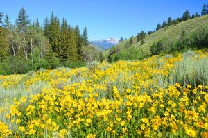 Teton Alpine Meadow by TerribleTer