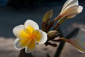 Frangipani flower II by DeviantTeddine