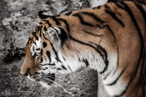 Tiger, Pilsen III by FGW-Photography