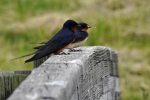 Barn Swallows by masscreation