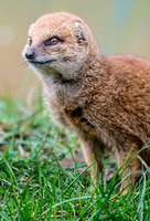 Mongoose by tpphotography