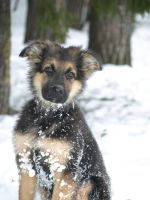 German shepherd puppy by Fisksak