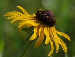 Blackeyed Susan by barcon53