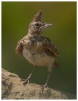 Crested Lark by katerina-m