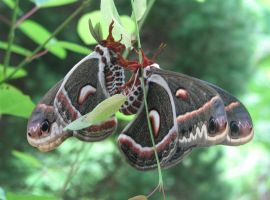 Cecropia Moths by JacquelineRae