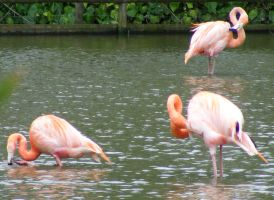 Flamingoes by Tasastock