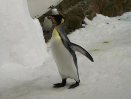 King Penguin2-Stock by SilkenWebs